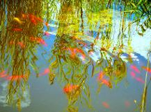 Reflection - Hurds Goldfish Pond
